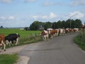 De koeien worden verweid